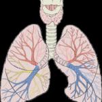 Luftstrupen, luftvägarna och lungorna. Vid astma blir luftrören trånga och då blir det svårare för luft att passera.
